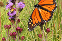 Monarch Butterfly in the Prairie