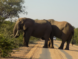 Elephants always get the right of way at Kruger NP! They can be seen in herds as large as 50 individuals there!