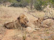 Lions on the African Savanna